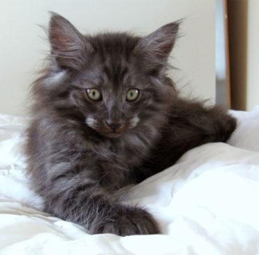 Skogkatt noir