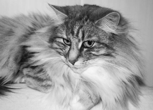 Pourquoi votre chat Norvégien ronronne ?